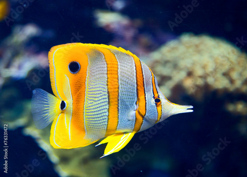 obraz PCV Butterflyfish Copperbanded