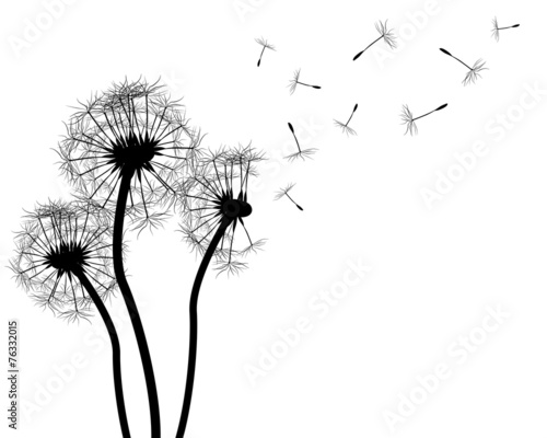 Dandelion silhouette on white - 76332015
