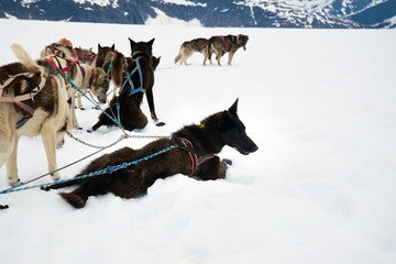 A sled dog cools off on snow and eats ice during a dog sled run