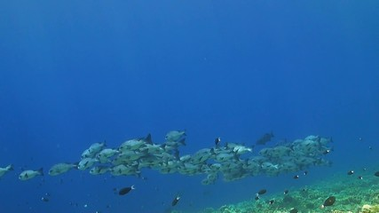 Black snapper on a coral reef