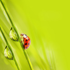 Dewy grass and little ladybug, natural background.