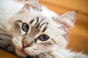Katzenportrait – liegend Katze mit blauen Augen