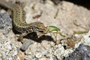 Lizard's Hunting Time