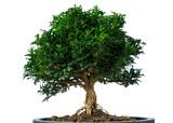 Small bonsai isolate on white