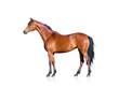 Obrazy na płótnie, fototapety, zdjęcia, fotoobrazy drukowane : Bay horse isolated on white background