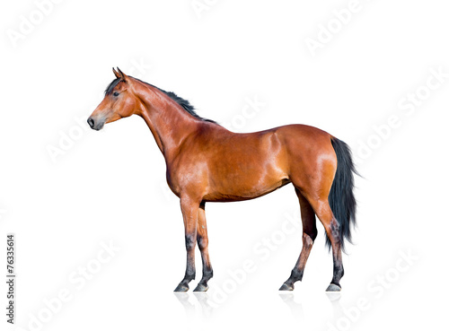 Zdjęcia na płótnie, fototapety, obrazy : Bay horse isolated on white background