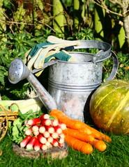 récolte au potager de légumes bio