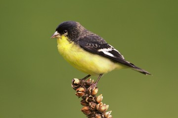 Male Lesser Goldfinch (Carduelis psaltria)
