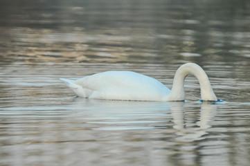 Noble White Swan