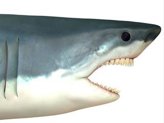 Great White Shark Head