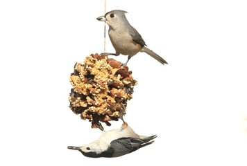 Birds On A Suet Feeder on white