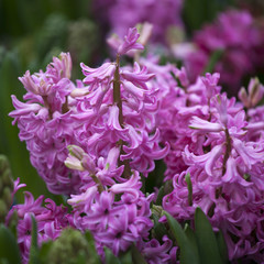 Closeup of purple hyacinth flowers spring background for a sale