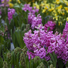 purple hyacinth flowers spring background for sale