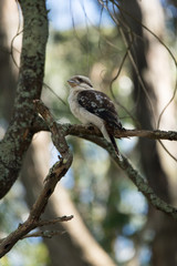 Kookaburra sitting Vert