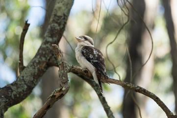 Kookaburra sitting up
