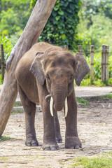 Indian Elephant child, Malaisia..