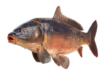 Mirror carp river fish