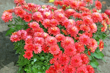 Beautiful flowerbed with many autumn red chrysanthemum