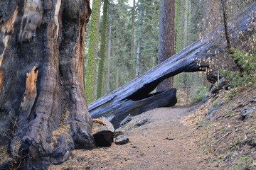 Bridge across a sequoia