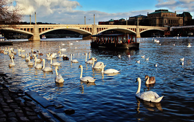 Old town of Prague.View on Vltava river with swans