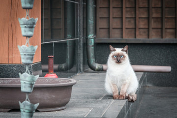 White Cat in a Japanese temple