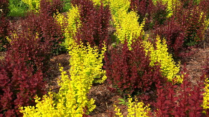 Red and yellow bushes of barberry. 4K