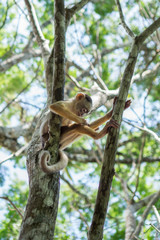 Small Monkey on tree in Amazon Forest