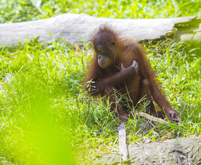 Baby orangutan  swinging in tree . Borneo, Indonesia.