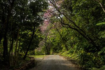 沖縄の桜がある道