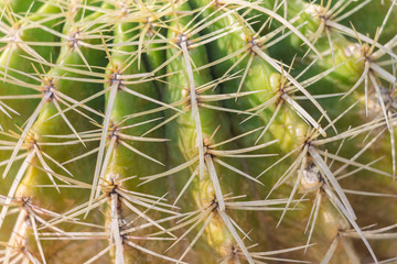 Close Up of Cactus Thorns , pattern background