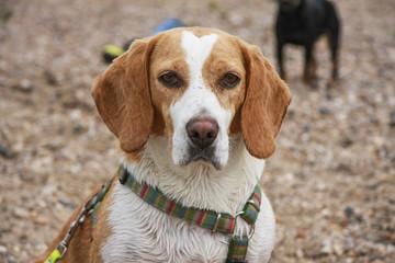 Beagle am Wasser