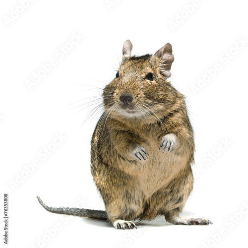 Papiers peints Squirrel degu rodent pet with tear in eye