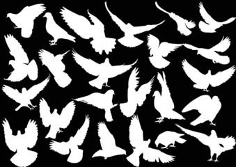 twenty four isolated white doves