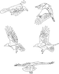 collection of five isolated crows sketches