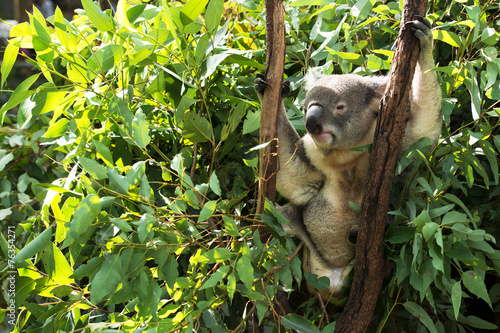 Fotobehang Koala An Australian koala outdoors.