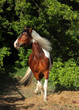 Beautiful paint draft horse in summer evening
