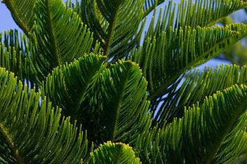 Norfolk Waldkiefer - Pinus Sylvestris