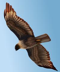 A hawk