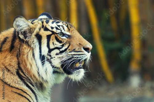 Foto op Aluminium Tijger Large Bengal Tiger by itself outdoors in the Sunshine Coast, QLD