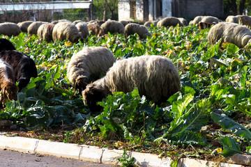 Nutztiere auf dem Feld