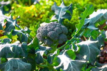 Broccolifeld