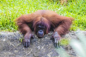 Orangutan in Sumatra, Indonesia