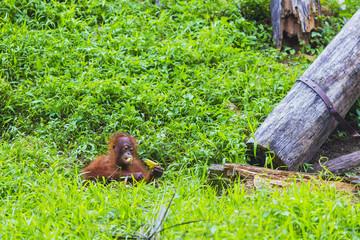 Baby orangutan  swinging in tree . Borneo, Indonesia.