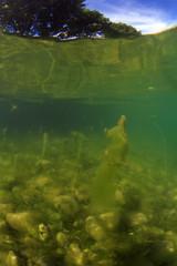 Fadenalgen im Flachwasserbereich eines Sees