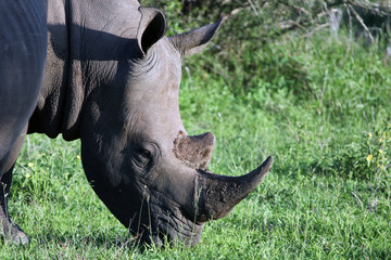 Rhino, Kruger national Park. South Africa