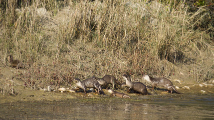 Group of smooth-coated Indian otter in Nepal