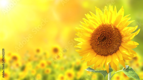 Sunflowers - 76362209