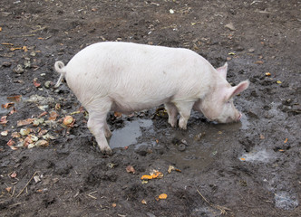Small pig in mud