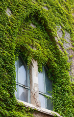 old decorative window twined a green ivy