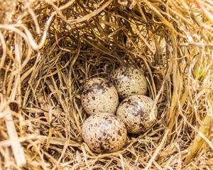 moorhen egg